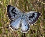The large blue butterfly is an ant mimic and social parasite.