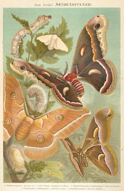 Four of the most important domesticated silk moths. Top to bottom: Bombyx mori, Hyalophora cecropia, Antheraea pernyi, Samia cynthia.  From Meyers Konversations-Lexikon (1885–1892)