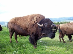 American bison a species that lives on the open plains of North America.