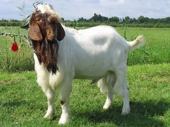 The Boer goat – in this case a buck – is a widely kept meat breed.