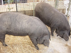 Archeological evidence indicates the presence of the porc negre (black pig) in pre-Roman settlements.[6]