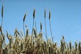 Standing wheat in Kansas, part of America's Breadbasket