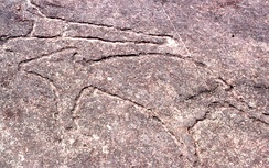 Petroglyph featuring kangaroos in Terrey Hills, New South Wales.