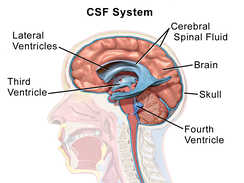 Cerebrospinal fluid circulates in spaces around and within the brain