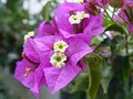 Bracts of Bougainvillea glabra, differ in colour from the non-bract leaves, and attract pollinators.