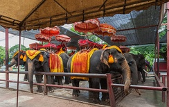 Captive elephants used for tours in Ayutthaya, Thailand.