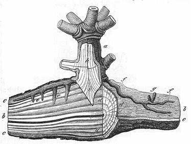 Гаустории омелы белой: a = нижняя часть стебля омелы; i = главный корень омелы; f = корни омелы в коре дерева; g = почки омелы; e = поглотители; в d сечение древесины[32]