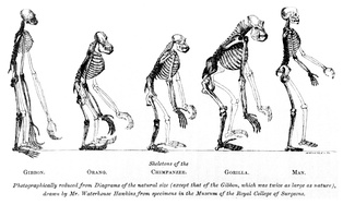 The frontispiece to Huxley's Evidence as to Man's Place in Nature (1863): the image compares the skeletons of apes to humans. The gibbon (left) is double size.