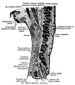 Рисунок поперечного гистологического среза верхнего века. Конъюнктивальная сторона слева