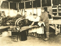 A horse undergoing an operation at a US Army veterinary hospital