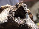 Голова грифовой черепахи