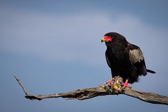 The name may derive from the Shona word for Bateleur eagle