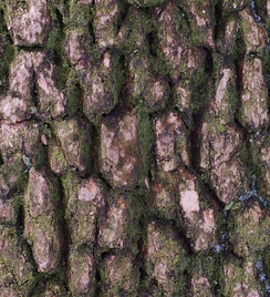 Buxus sempervirens bark closeup