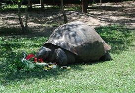 Галапагосская черепаха Гариетта, зоопарк Квинсленда, 2002 год