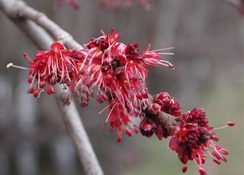 Acer rubrum (red maple) flowers