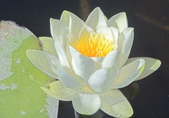 Nymphaea alba, from the Nymphaeales