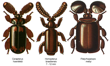 Широкие усики мирмекофильных жуков-пауссид имеют специальные железы, выделяющие вещества, которые слизывают муравьи