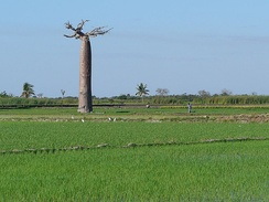 Baobab and rice field near Morondava, Madagascar