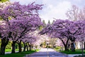 Spring cherry blossoms at university campus, Vancouver, Canada