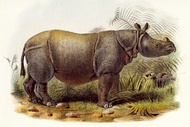 Extinct Javan rhinoceros of Sunderbans, drawing from 1877