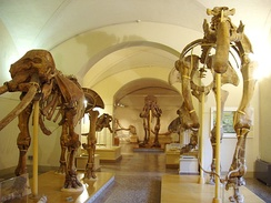 A display of proboscideans in the Museo di Storia Naturale di Firenze, or the Natural History Museum of Florence