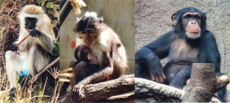 three primates possible sources of HIV