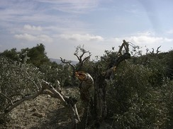 Olive trees in the village of Burin allegedly vandalized by settlers from the settlement Yitzhar in November 2009