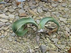 Вельвичия: молодое растение
