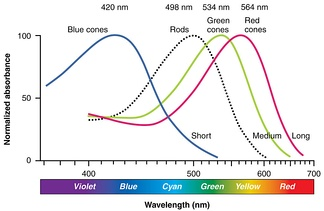 Normalized human photoreceptor absorbances for different wavelengths of light[11]