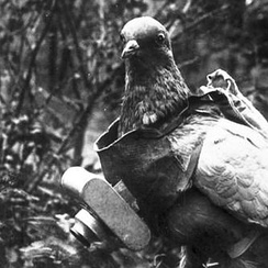 Pigeon with German miniature camera, during the First World War.