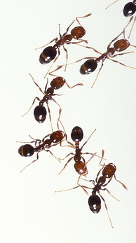 An average red ant is about 5 mm long.