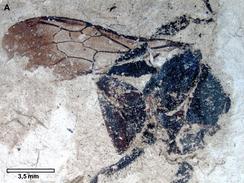 Ископаемый шмель †Bombus cerdanyensis Dehon et al., 2014 (~10 млн лет, миоцен, Испания)