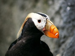 A Tufted puffin in Seattle, Washington