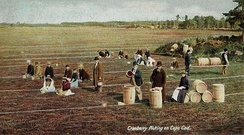 Cranberry picking in 1906