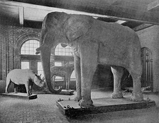 Jumbo in the Barnum Museum of Natural History