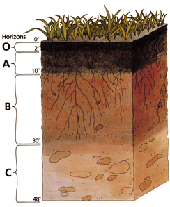 Soil Profile: Darkened topsoil and reddish subsoil layers are typical in some regions.