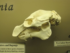 Skull of a West Indian manatee on display at The Museum of Osteology, Oklahoma City, Oklahoma.