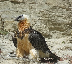 A lammergeier in the Puga valley in Ladakh in the Indian Himalayas