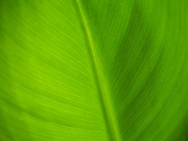 Close up photo of a leaf from the Dwarf Cavendish.