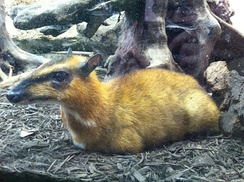 Greater mouse-deer at the Smithsonian National Zoological Park, Washington, DC