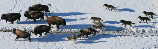 Wolves, social predators, cooperate to hunt and kill bison.