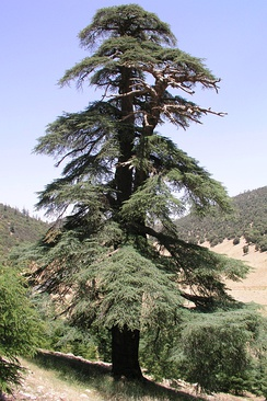An old Cedrus atlantica tree in the Atlas range