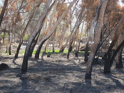 Eucalyptus trees bent over due to the high winds and heat of the October 2007 California wildfires. They are located in the San Dieguito River Park of San Diego County and leaning west