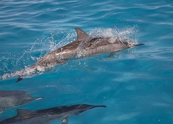 Spinner dolphins at Midway Atoll