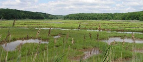 A northeastern salt marsh similar to the WTDWR, Spartina alterniflora growing along creeks, Phragmites australis visible in foreground.