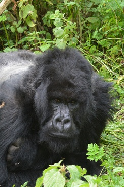 Silverback of Ntambara group, in typical resting attitude.