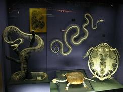 Скелеты змей радикально отличаются от скелета черепахи, состоящего в основном из расширенной грудной клетки.