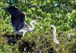 Пара цапель, строящая гнездо (Дания). Заметна яркая брачная окраска клюва.