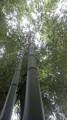 Bamboo forest in Isère, France