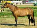 Буланая лошадь